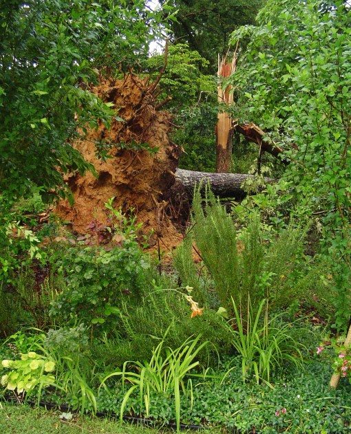 June 13 storm damaged trees 001