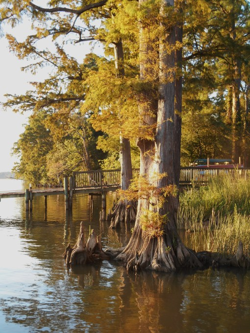 The bald Cypress trees are already turning brown and will drop their needles soon. It has been unusually hot this summer, with very little relief from cloudy days or rain.