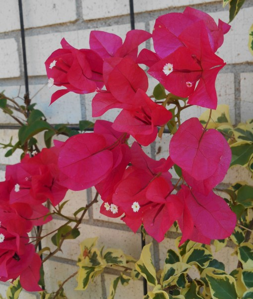 september-14-2016-bouganvillea-002