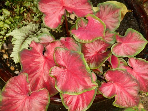 Caladium, 'Cherry Tart'