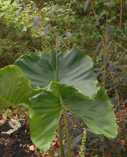Alocasia 'Stingray' thrive in heat and humidity. These tropical plants help filter the air and trap carbon with their huge leaves.
