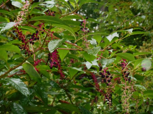 Pokeweed, Phytolacca americana feeds songbirds for many months each fall.