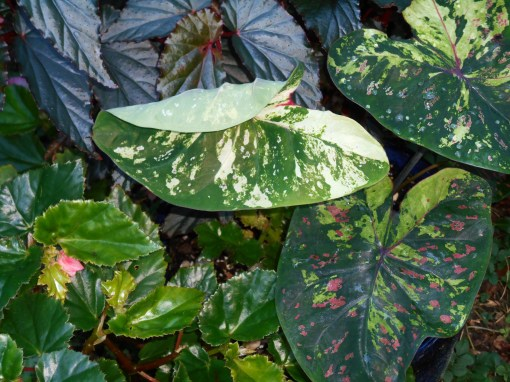 This pot holds Begonia 'Arabian Sunset' and Begonia 'Richmondensis along with a single Caladium.