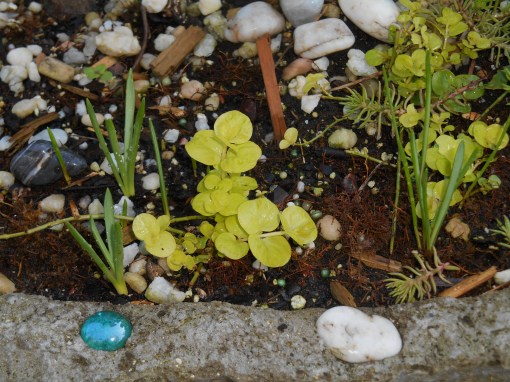 Spring bulbs have begun to grow in ths container, also recovering from August's drought.