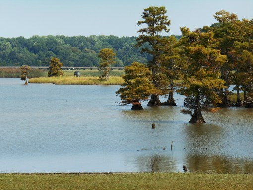 Sandy Bay, which frames one end of Jamestown Island, provides a home for many species of birds in its shallow waters. Bald cypress trees grow along its banks.