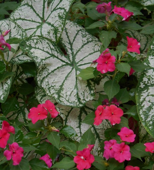 Caladiums and Impatiens growing this summer in my father's garden.