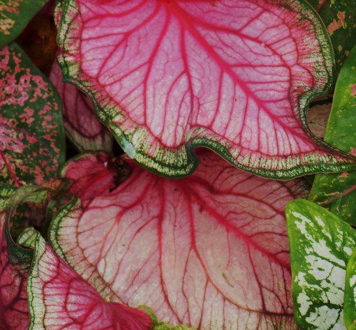 Caladiums in my father's garden.
