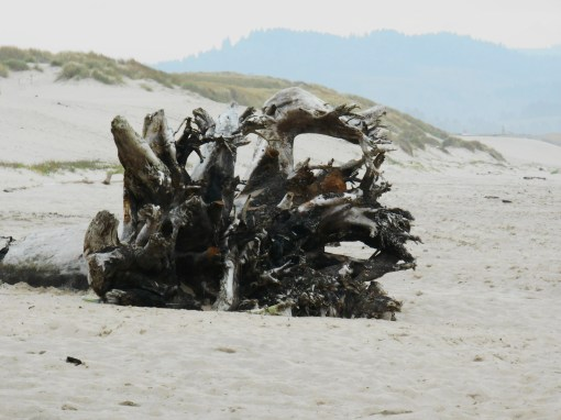 Once mighty tree turned into driftwood on an Oregon beach near Pacific City.