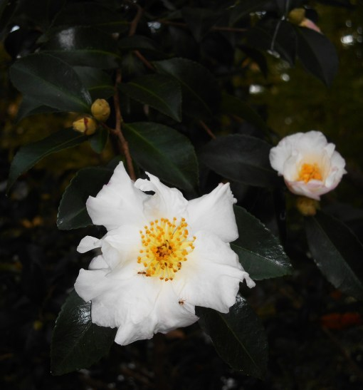 october-31-2016-camellias-001