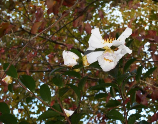 october-31-2016-camellias-002