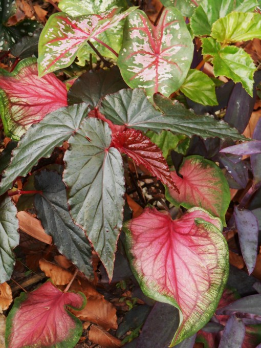 Mixed Caladiums with Begonia.