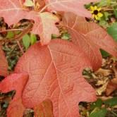 Oakleaf Hydrangea in October