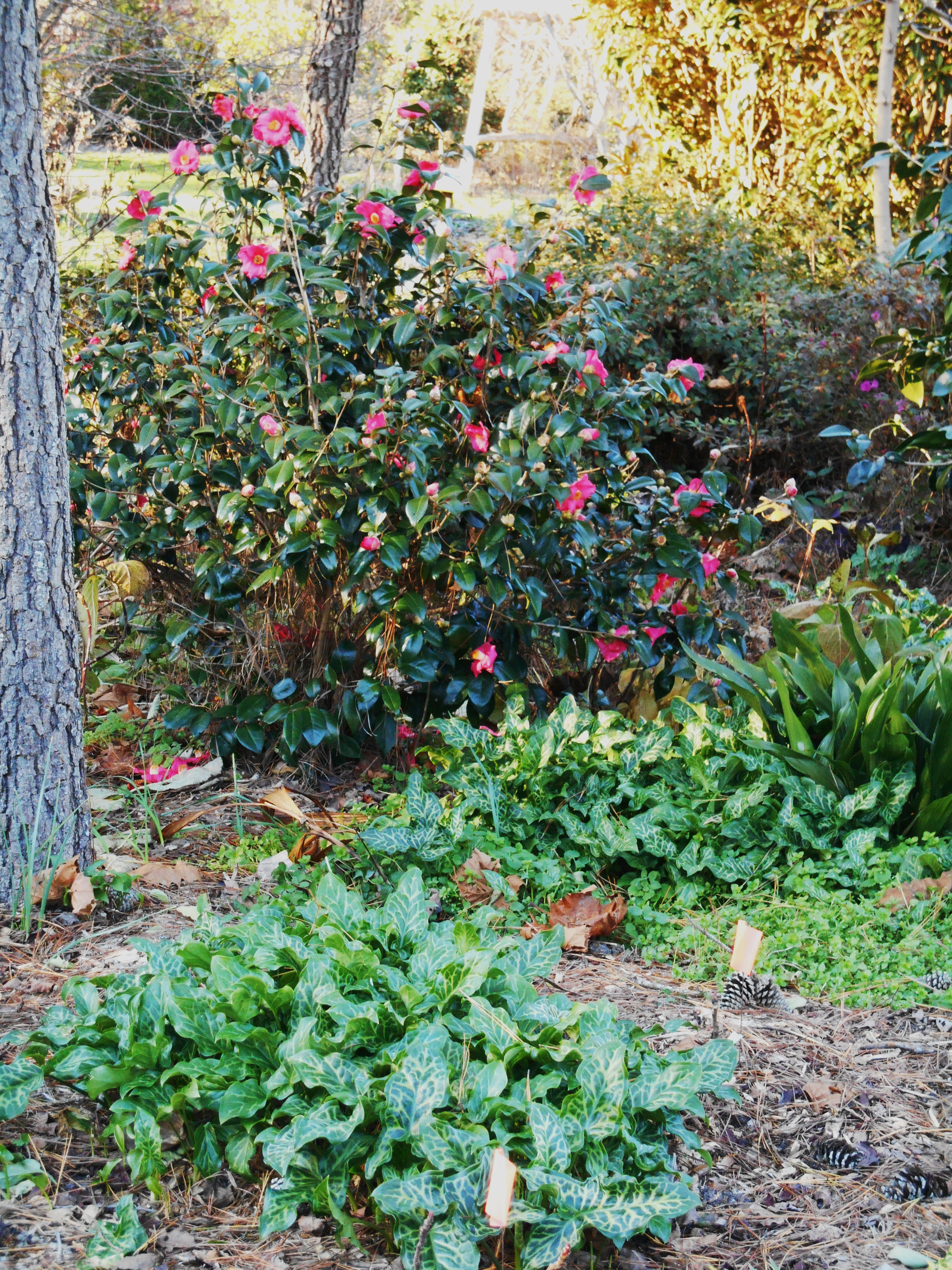 Brent and Becky's display garden features many blooming shrubs, including this lovely Camelia. The Heath's call Arum and 'shoes and socks' plant because it works so well around shrubs.
