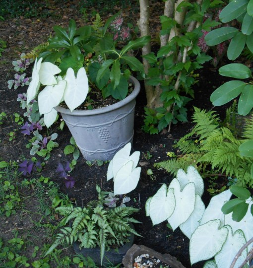 Floriday Moonlight really lights up a shady spot!