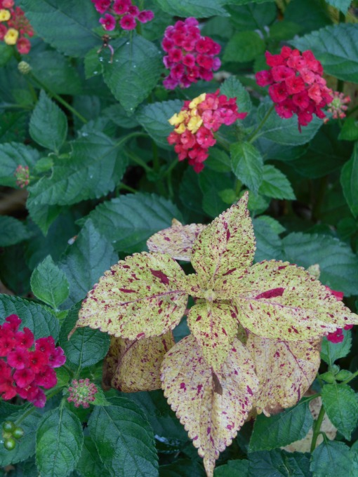Some Lantana prove hardy for us, others don't make it through the winter. This has been an especially nice Coleus and I'll likely take cutttings before frost.