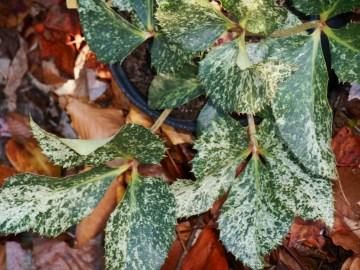 Helleborus argutifolius just home and still in its Nursery pot in late November.