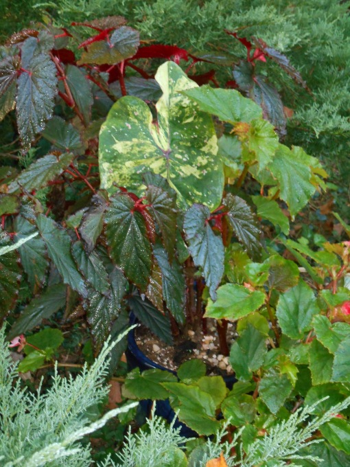 This Caladium, 'Sweet Carolina,' came indoors in its pot, with its companion Begonias.
