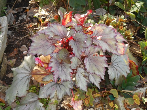 This Begonia has spent the last 4 winters indoors, and comes back each summer better than ever begfore.