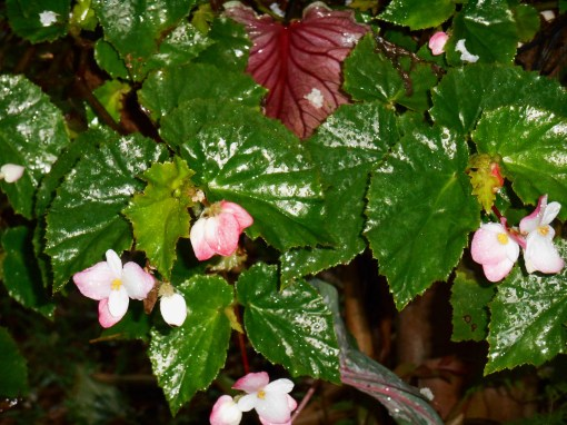 Begonia 'Richmondensis' will bloom indoors through the winter months.