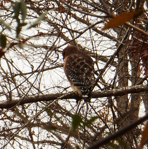 We found this hawk hunting in our garden as we returned home on Sunday afternoon.