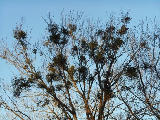 Mistletoe lives anchored to the branches of the trees. The trees and mistletoe form a symbiotic community.