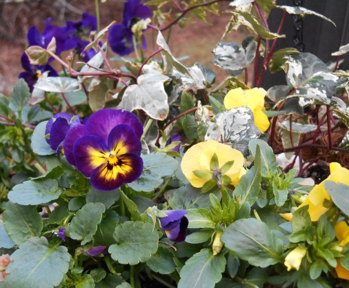 Violas and ivy make fora beautiful winter hanging basket in our climate. This photo from early January 2017.
