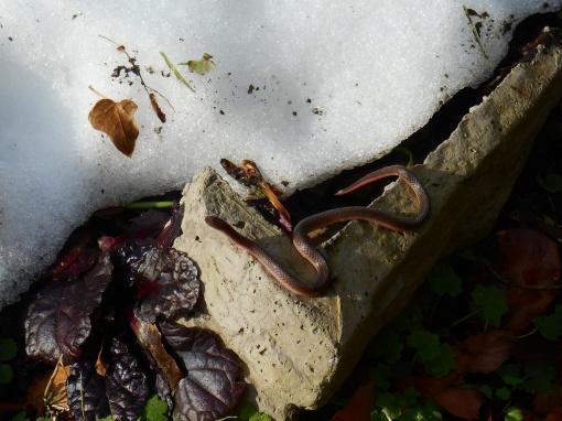 Eastern Worm Snake, Carphophis amoenus amoenus