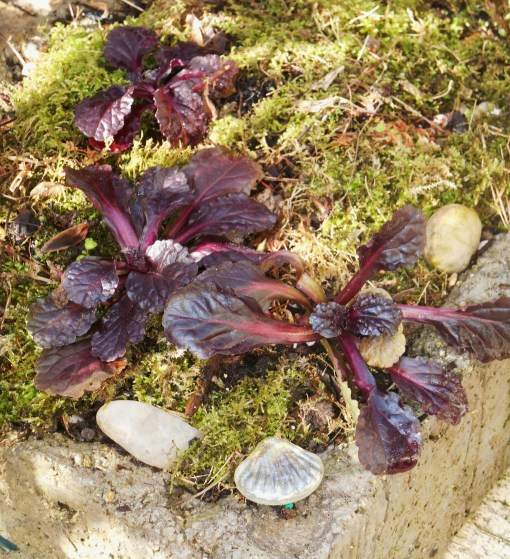 After 5 days under a heavy snow cover, this pot of Ajuga and moss has recovered nicely in the warmth and sunshine today.
