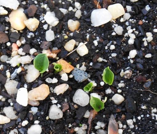 Arum italicum seedlings have just appeared.