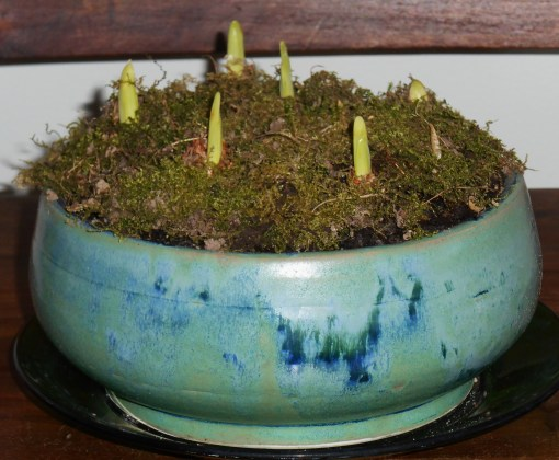 Porcelain bowl by Denis Orton, filled with paperwhites stirring into growth and wild moss from the garden.