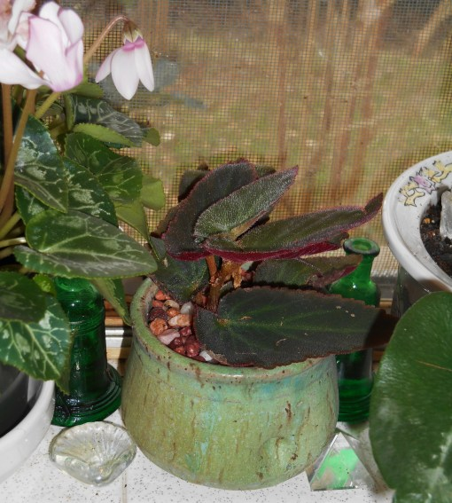 Although a tiny rooted cutting now, this will likely grow into a standard sized Begonia by early summer.