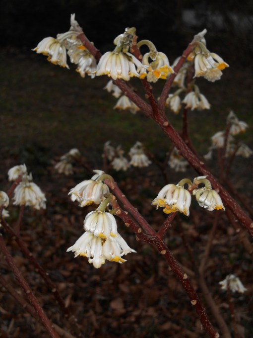 Edgeworthia chrysantha, or Chinese Paperbush, fills our front garden with fragrance now that its blossoms have opened. We found happy bees feeding on these flowers on Sunday afternoon.