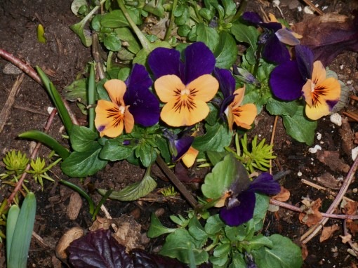 Violas left growing undisturbed in the pot where our Helleborus vanished.