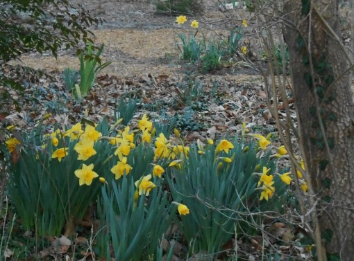 february-20-2017-miniature-daffies-026