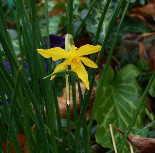 february-23-2017-daffodils-003