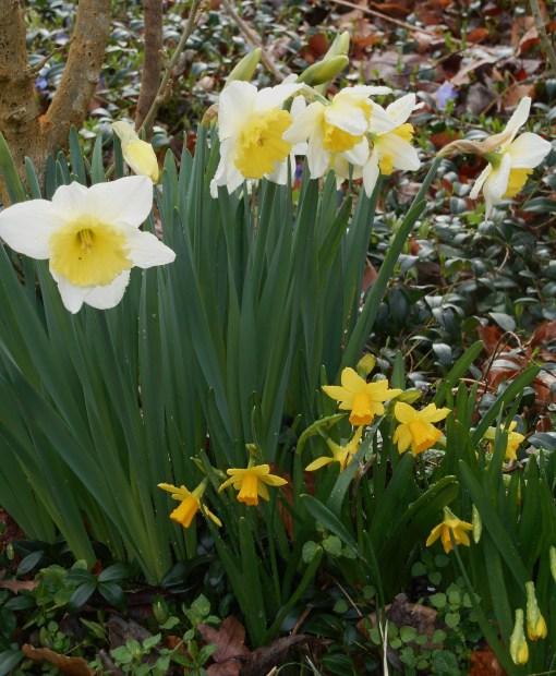 february-23-2017-daffodils-021