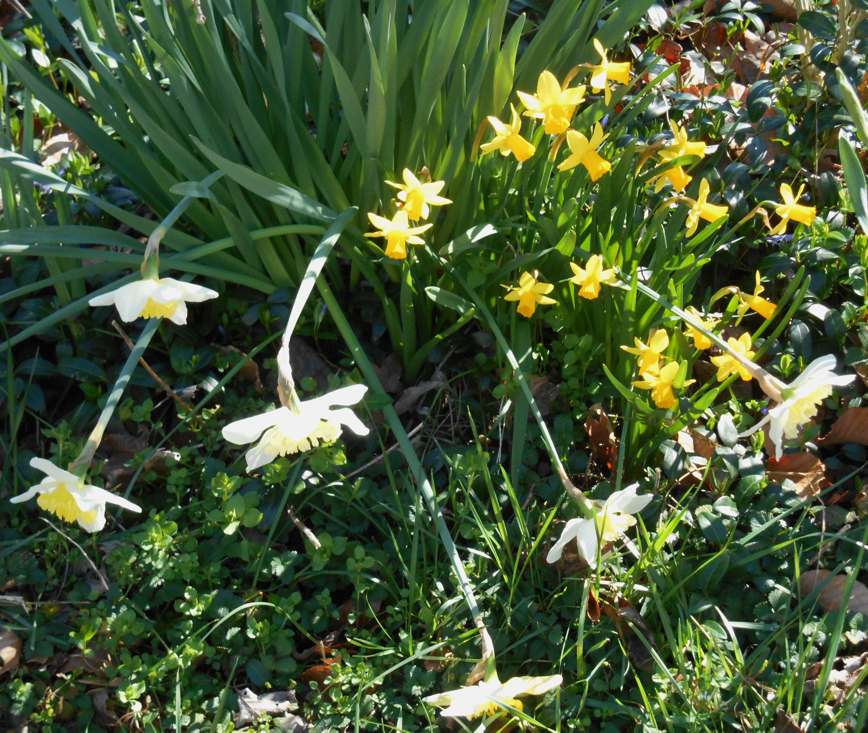 february-25-2017-daffodils-in-february-025