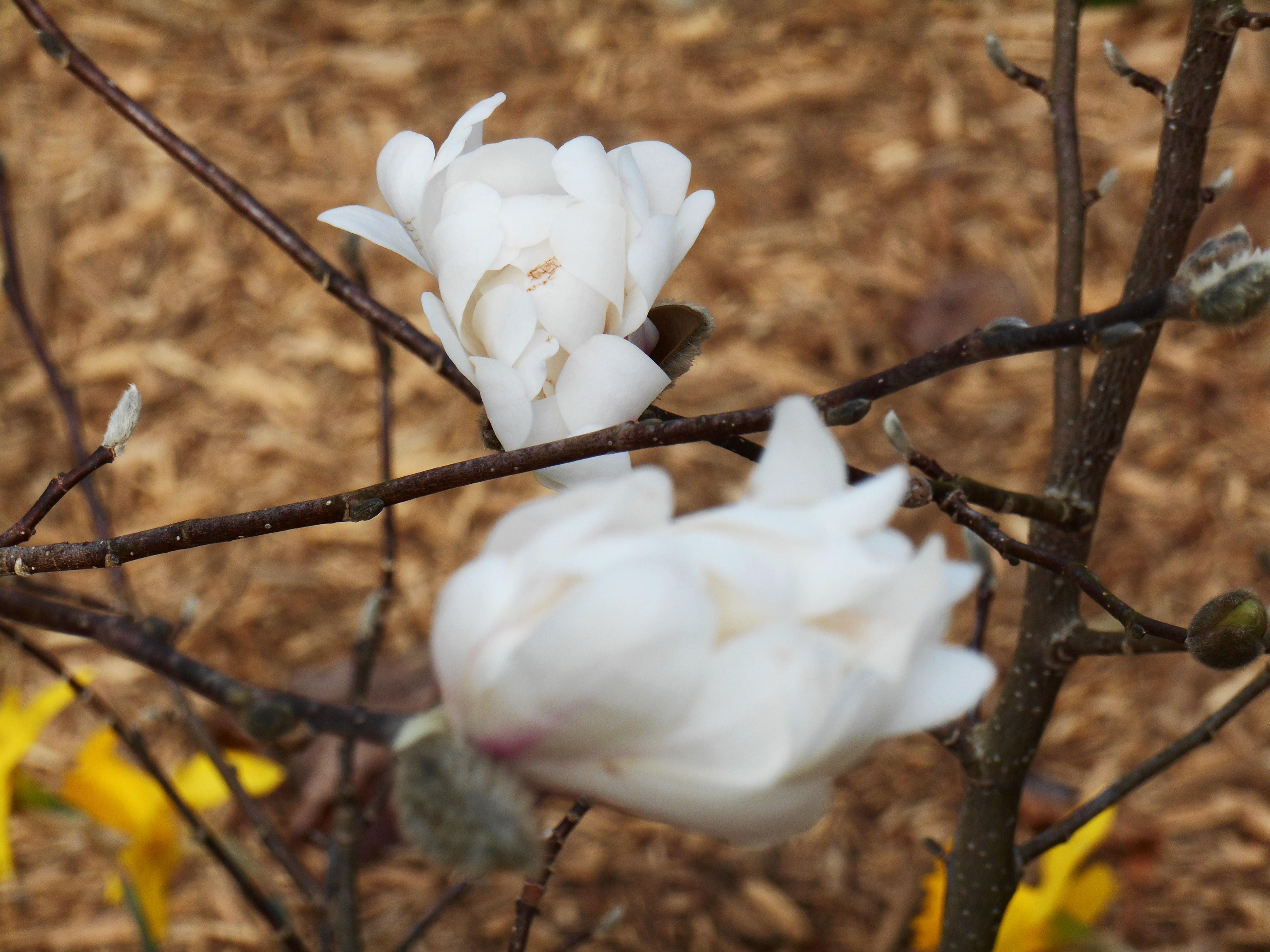 february-27-2017-magnolia-stellata-001