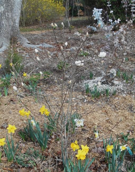 february-27-2017-magnolia-stellata-002