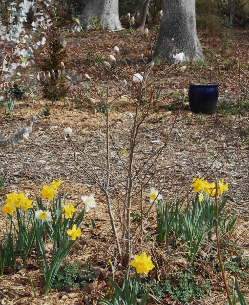 february-27-2017-magnolia-stellata-009