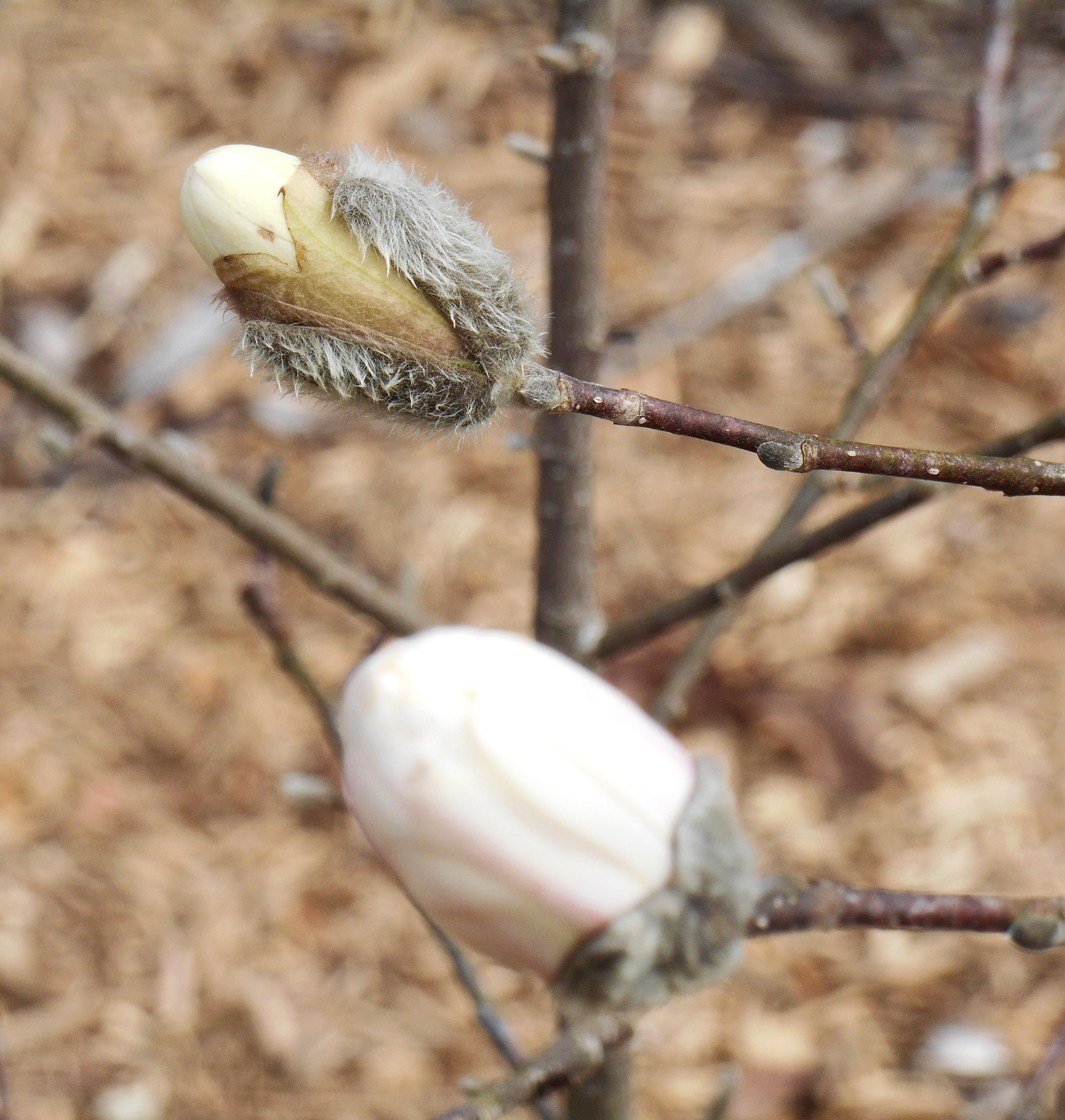 february-27-2017-magnolia-stellata-011