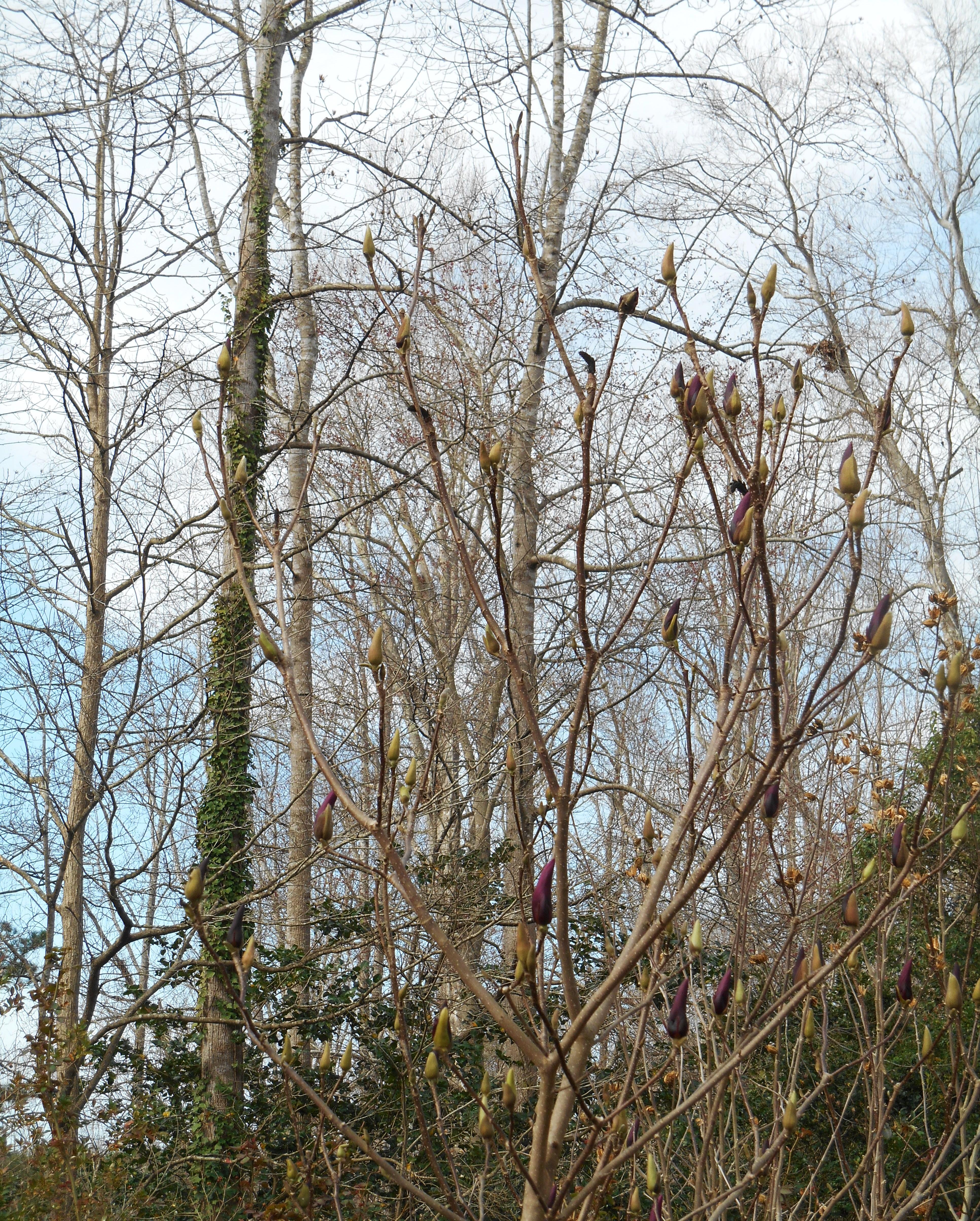 Magnolia lili