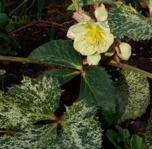 Helleborus argutifolius 'Snow Fever' blooming a week ago.
