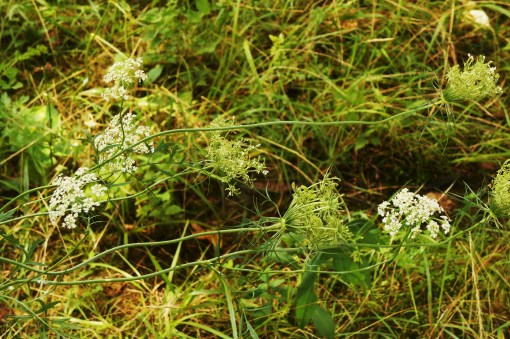 Queen's Anne's lace, or wild carrot