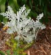 Dusty Miller, Centaurea cineraria