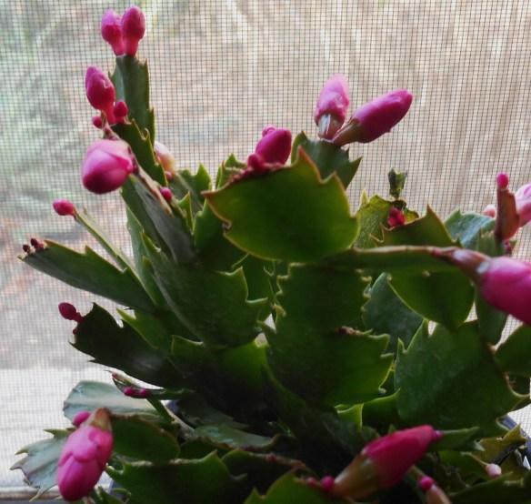 Propagate Christmas Cactus.Christmas Cactus Propagation Forest Garden