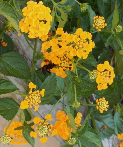 Lantana Chapel Hill Gold Forest Garden